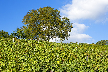 Vineyard and tree at Weingut Dahms winery, Sennfeld, near Schweinfurt, Franconia, Bavaria, Germany