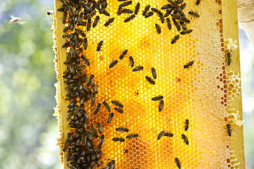 Honeycombs and bees, Freiburg im Breisgau, Baden-Wuerttemberg, Germany