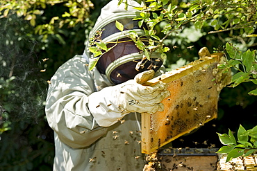 Beekeeper and honeycombs, Freiburg im Breisgau, Black Forest, Baden-Wuerttemberg, Germany