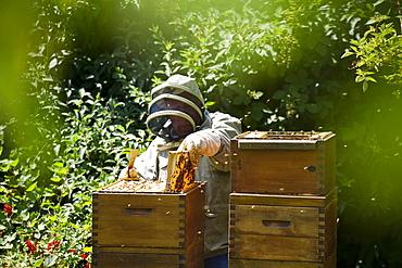 Beekeeper and wooden beehives, Freiburg im Breisgau, Black Forest, Baden-Wuerttemberg, Germany