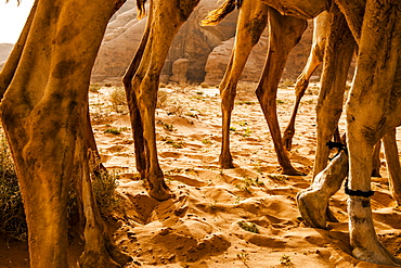Close-up of several dromedaries, Wadi Rum, Jordan, Middle East