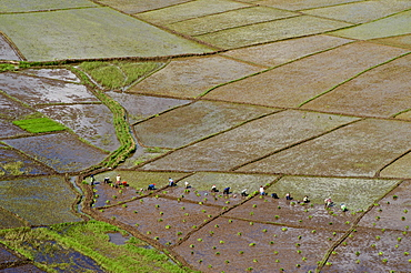 Rice fields in the shape of a spiders web, near Ruteng, west of Flores, East Nusa Tenggara, Lesser Sunda Islands, Indonesia, Southeast Asia, Asia