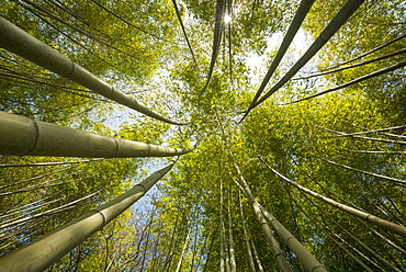 Bamboo forest, Villa Carlotta gardens, Tremezzo, Lake Como, Lago di Como, Province of Como, Lombardy, Italy