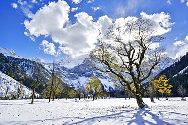 Snow-covered maple trees with Karwendel range in background, Grosser Ahornboden, Eng, Karwendel Nature Reserve, Karwendel range, Tyrol, Austria