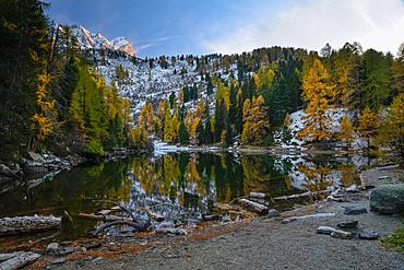 Golden larches along the shore of Lake Bitabergh mit Piz Saladina, Engadin, Grisons, Switzerland