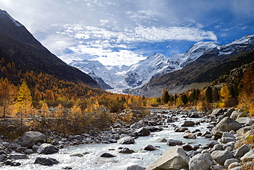 Colourful larches on the banks of the Morteratsch River with view to Bellavista (3922 m), Piz Bernina (4049 m) mit Biancograt, P