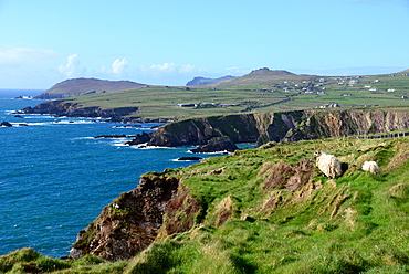 Ram near Dunquin on the west coast of the Dingle peninsula, Kerry, Ireland