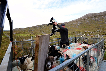 Sheep herder with sheep on road 336 in Connemara, Ireland