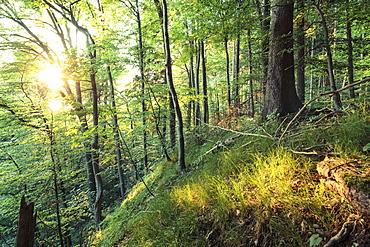 Wood in evening light, Berg, Upper Bavaria, Germany
