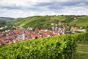 View of town seen through vines in Marsberg vineyard, Randersacker, near Wuerzburg, Franconia, Bavaria, Germany