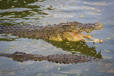 Crocodiles, Kota Kinabalu, Borneo, Malaysia.