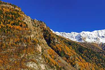 Golden larches and Chapel above Brusio, Engadin, Grisons, Switzerland
