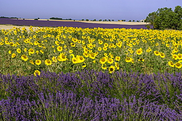 Sunflowers and lavender, Valensole near Puimoisson, Naturel Regional du Verdon, Plateau de Valensole, Provence-Alpes-Cote d'Azur, France