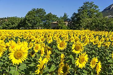 Sunflowers in a field, Loumarine, Vaucluse, Luberon Regional park, Provence-Alpes-Cote d'Azur, France