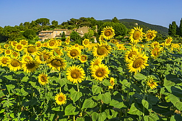 Sunflowers, near Loumarine, Vaucluse, Luberon Regional park, Provence-Alpes-Cote d'Azur, France