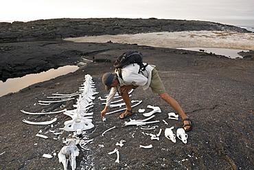 The biologist und nature guide Salvador Cazar standing next to the carcass of a whale, Punta Espinoza on Fernandina Island, Galapagos Islands, Ecuador