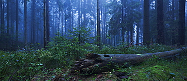 Mystical atmosphere at dawn with fog in natural forest of the National Park Saxon Switzerland and an overturned tree in the foreground, Saxony, Germany