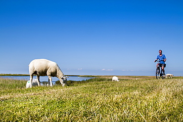 Cyclist and sheep on a dike, Westermarkelsdorf, Fehmarn island, Baltic Coast, Schleswig-Holstein, Germany
