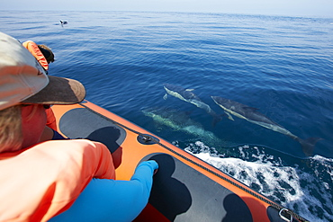 School of dolphins seen from an observation boat, Sagres, Algarve, Portugal