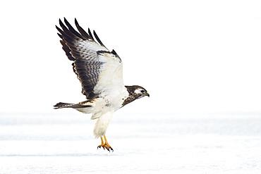 Common Buzzard, pale morph, Buteo buteo, Usedom, Germany