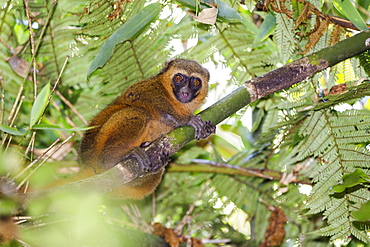 Golden Bamboo Lemur, rainforest of Ranomafana, Hapalemur aureus, Madagascar