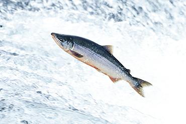 Sockeye Salmon leaping, Onocorhynchus nerka, Alaksa