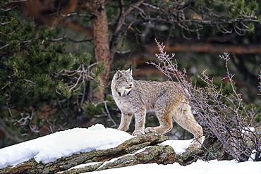 Canada Lynx in snow, Lynx canadensis, North-America