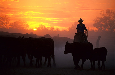 Cattle drive on Cowarie Station on the Birdsville Track, South Australia, Australia