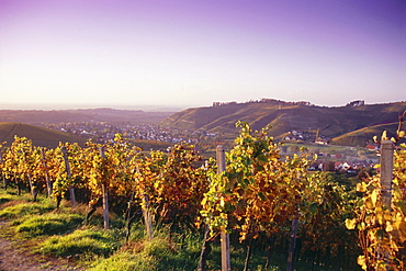 Vineyard in autumn near Durbach, Baden-Wurttemberg, Germany
