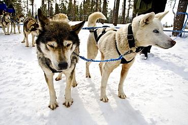Husky pulling Dog Sledge, Rovaniemi, Lapland, Finland, Europe
