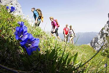 Blooming gentian, hikers in background, Wetterstein range, Bavaria, Germany