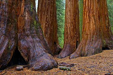 View at giant trees at Yosemite National Park, California, North America, America