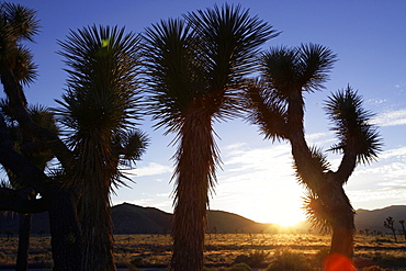 View through a Joshua Tree into the sunset, Joshua Tree National Park, Twentynine Palms, California, USA