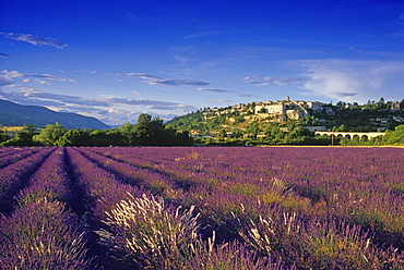 View over lavender fields to the village Sault in the sunlight, Vaucluse, Provence, France, Europe