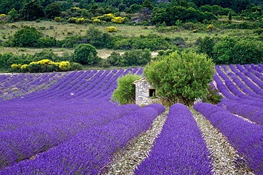 Hut in a lavender field, Vaucluse, Provence, France, Europe