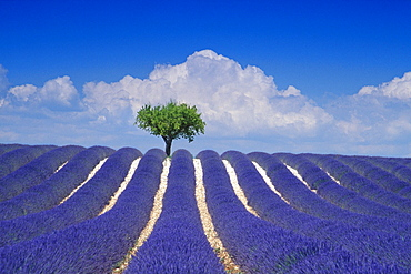 Almond tree in lavender field in front of clouded sky, Plateau de Valensole, Alpes de Haute Provence, Provence, France, Europe