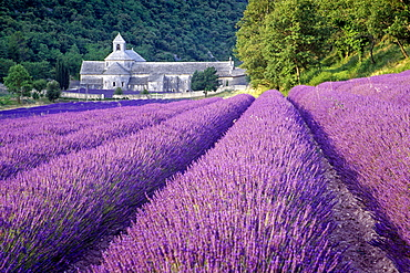Minster Abbaye de Senanque in lavender field, Vaucluse, Provence, France, Europe