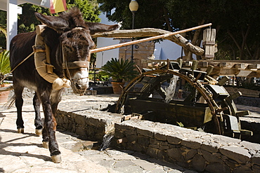 A donkey moving the water wheel of a historical well, Pajara, Fuerteventura, Canary Islands, Spain, Europe