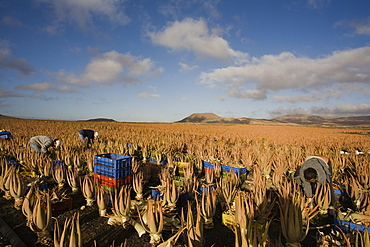 Workers on an aloe vera plantation, Valles de Ortega, Fuerteventura, Canary Islands, Spain, Europe