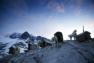 Five huskies at dachstein mountain, Austria