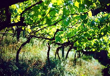 Grapewine, Bozen, South Tyrol, Italy