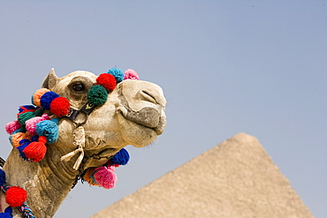Camel at Pyramids of Giza,Cairo, Egypt