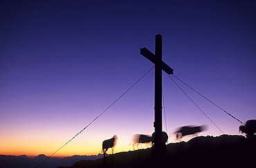 Sheep and cross on the summit of Sarstein in the first morning light, Dachstein range, Upper Austria, Austria
