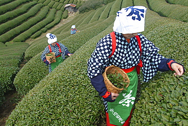 Women picking tea leaves, Uji, Kyoto district, Japan