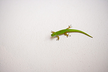 Green Gecko on Wall,Taj Denis Island Resort, Denis Island, Seychelles