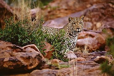 Leopard, Okonjima Guest Lodge, Namibia, Africa