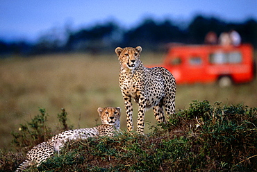 Cheetahs in the Steppe, Masai Mara National Reserve, Kenia, Africa