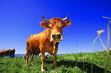 Cattle on maedow, Upper Bavaria, Bavaria, Germany