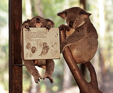 Koala bears in Zoo, Queensland, Australia