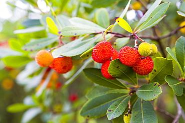 Fruit of the Strawberry Tree, Arbutus unedo L., Sardinia, Italy.